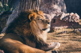 львиная грива